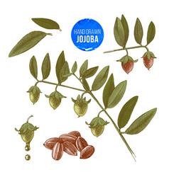 Jojoba nuts branches and fruits vector