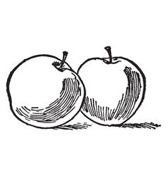 Two apples vintage vector