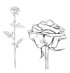 rose line art silhouette single long stem vector image