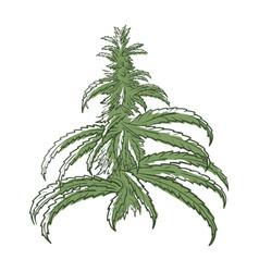 marijuana bush icon medical and natural plant vector image
