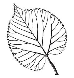 American linden leaf vintage vector