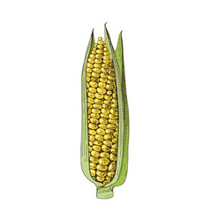 hand drawn corn ear vector image
