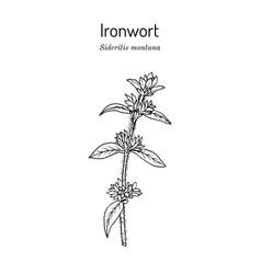 Ironwort sideritis montana or mountain tea vector