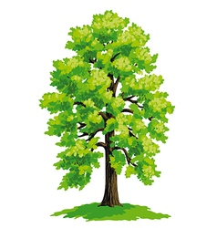 Linden with lush green crown vector image