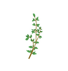 small branch of fresh green thyme aromatic plant vector image