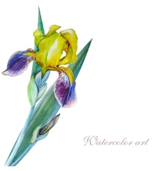 Yellow iris watercolor vector