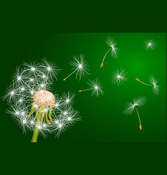 Dandelion flowering plant vector