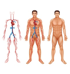 Male circulatory system vector