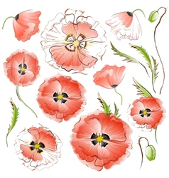 Set isolated red poppy flowers vector