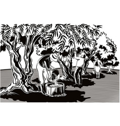 two men and a woman collect the olives directly vector image vector image