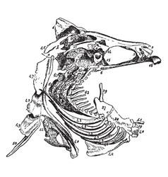 hyoid arch vintage vector image vector image