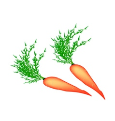 Two Delicious Fresh Carrot on White Background vector image