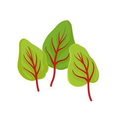 three green sorrel leaves with red veins culinary vector image