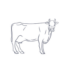cow on white background animal farm vector image vector image