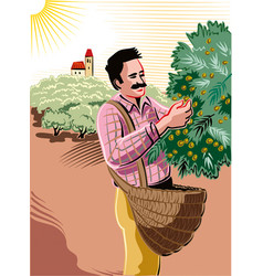 man collecting olives directly on the shaft vector image vector image