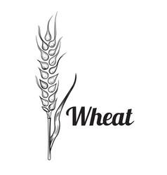 wheat bread ears cereal crop sketch hand drawn vector image vector image