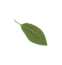 green leaf of frangipani flower vector image