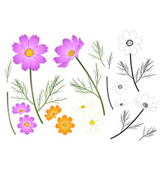 pink white orange cosmos outline vector image vector image