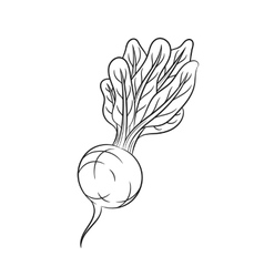Hand drawn radish sketches on white background vector image vector image