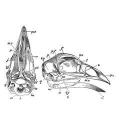 Skull of a bird vintage vector