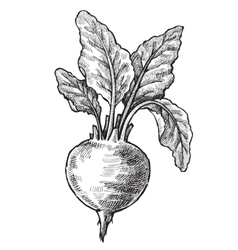 Hand drawn of beet vector