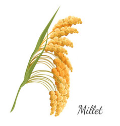 Yellow millet isolated on white realistic vector