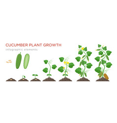 Cucumber plant growth stages infographic elements vector