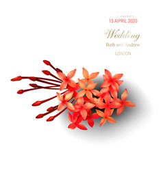 tropical red ixora flowers on white background vector image