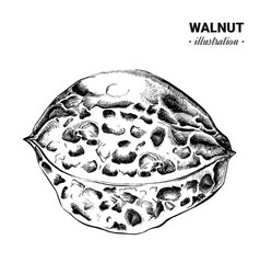 Walnut fresh food hand drawn vector