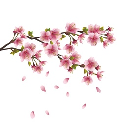 Sakura blossom Japanese cherry tree vector image