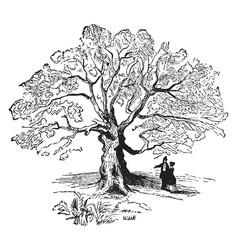 Charter oak vintage vector