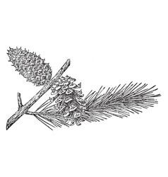 Pine cone of lodgepole pine vintage vector