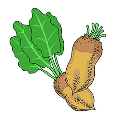 Beetroot vegetable cartoon The beets with leaves vector