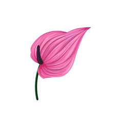 pink anthurium or lamingo flower vector image