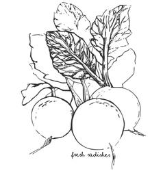 Hand-drawn sketch radish vector image