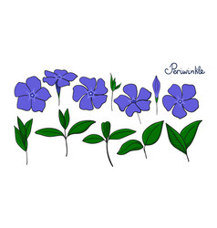 Set isolation elements of periwinkle flowers vector