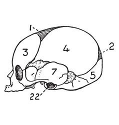 Infant skull vintage vector
