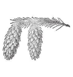 Sitka spruce pine cone vintage vector