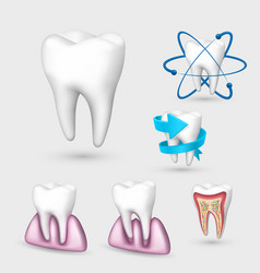 3d tooth collection set tooth vector