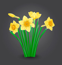 yellow narcissus flowers isolated vector image