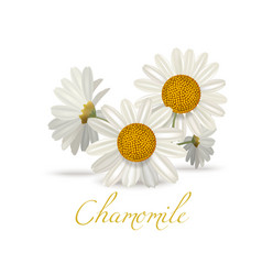 chamomile flowers in realistic style vector image