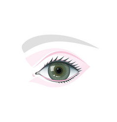 Eye eyelids and brow schematic template vector