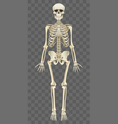 human skeleton isolated on white vector image