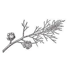 Branch of arizona cypress vintage vector