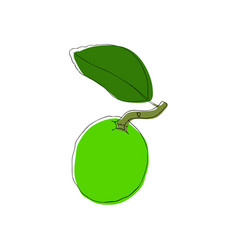 Hand drawn lime fruit in vintahe style vector