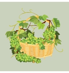 Bunches of fresh grapes in the basket isolated on vector