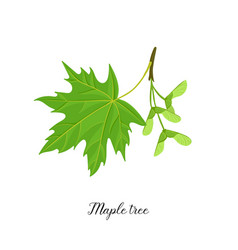 drawing branch maple tree vector image