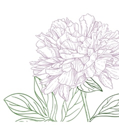 Peonies pink and green line art vector image