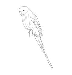 sketch of budgerigar vector image
