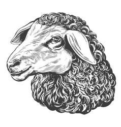 Sheep hand drawn realistic vector